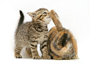 Brown Tabby Posters - Rabbit And Kitten Poster by Jane Burton