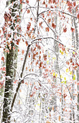 Williams Photos - Autumn Snow Monongahela National Forest by Thomas R Fletcher