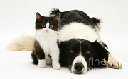 Collie Framed Prints - Border Collie And Kitten Framed Print by Jane Burton