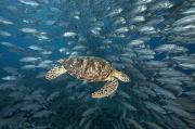 Animal Wisdom Posters - Green Sea Turtle Poster by Dave Fleetham - Printscapes