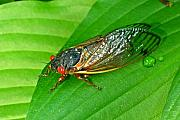 Cicada Posters - 17 Year Periodical Cicada Poster by Douglas Barnett