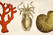 Curio Art - 1750 Coral Squid & Nautilus Colour Print by Paul D Stewart