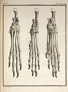 Mastif Prints - 1755 Variation Dog Feet Buffon Evolution Print by Paul D Stewart