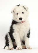 Border Collie Puppy Print by Mark Taylor