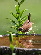 Indiana Flowers Prints - Carolina Wren Print by Jack R Brock