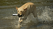 Dog Swimming Metal Prints - Yellow Labrador Metal Print by Steven Lapkin