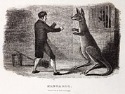Boxing Framed Prints - 1806 Boxing Australian Kangaroo In Zoo Framed Print by Paul D Stewart