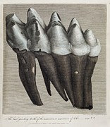 1811 Photos - 1811 Parkinson Mammoth Mastodon Tooth by Paul D Stewart