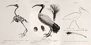 Egyptian Mummy Posters - 1812 Egyptian Ibis & Cuviers Evolution Poster by Paul D Stewart