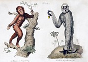 Orang-utan Framed Prints - 1812 Orang Utan Pan Satyrus And Hylobates Framed Print by Paul D Stewart