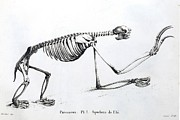 Mega Prints - 1812 Sloth Skeleton By Cuvier Print by Paul D Stewart