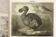 Dodo Bird Framed Prints - 1833 Fat Dodo From The Penny Magazine Framed Print by Paul D Stewart