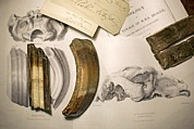 Bahia Prints - 1838 Toxodon Teeth & Figs. From Darwin C Print by Paul D Stewart