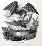 Mistake Posters - 1857 Gosse Pterodactyle Bat-lizards Poster by Paul D Stewart