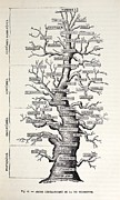 Haeckel Posters - 1886 French Copy Haeckel tree Of Life Poster by Paul D Stewart