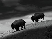 Bison Art - 1898 by Peter Holme III