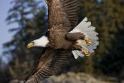 Feathered Photos - Bald Eagle by John Hyde - Printscapes