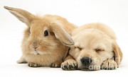 Sleeping Baby Animals Posters - Puppy And Rabbit Poster by Mark Taylor