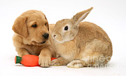 Toy Dog Photo Posters - Rabbit And Puppy Poster by Jane Burton