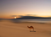 Camel Photos - 198 by Peter Holme III