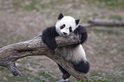 Disbelief Posters - A Baby Panda Plays On A Branch Poster by Taylor S. Kennedy