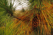 Pine Needles Framed Prints - A Cluster Of Long Leaf Pine Needles Framed Print by Raymond Gehman