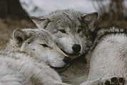 Sawtooth Mountains Metal Prints - A Couple Of Gray Wolves, Canis Lupus Metal Print by Jim And Jamie Dutcher