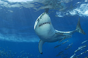 White Shark Prints - A Great White Shark Swims In Clear Print by Mauricio Handler