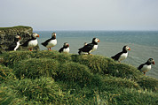 Puffins Posters - A Group Of Atlantic Puffins Perch Poster by Sisse Brimberg