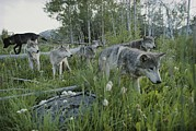 Canis Lupus Prints - A Group Of Gray Wolves, Canis Lupus Print by Jim And Jamie Dutcher