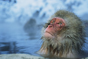 Bathing And Grooming Framed Prints - A Japanese Macaque, Or Snow Monkey Framed Print by Tim Laman