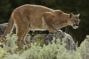 A Mountain Lion, Felis Concolor Print by Jim And Jamie Dutcher