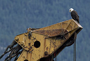 Construction Equipment Prints - A Northern American Bald Eagle Print by Norbert Rosing