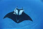 Turks And Caicos Islands Photos - A Pair Of Remoras Hitch A Ride by Brian J. Skerry