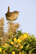 Plant Singing Metal Prints - A Singing Wren Metal Print by Duncan Shaw