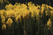 Fir Trees Prints - A Stand Of Autumn Colored Aspen Trees Print by Charles Kogod