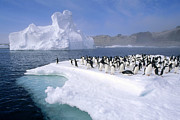 Spheniscidae Photos - Adelie Penguin Pygoscelis Adeliae Group by Tui De Roy