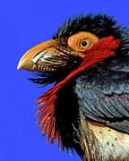 Bearded Barbet Posters - African Bearded Barbet Poster by Larry Linton