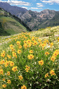 Alta Framed Prints - Albion Basin Wildflowers Framed Print by Utah Images