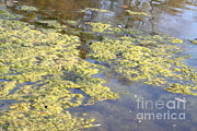 Phosphate Framed Prints - Algae Bloom In A Pond Framed Print by Photo Researchers, Inc.