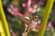Bromeliad Metal Prints - Allens Hummingbird Metal Print by Mike Herdering
