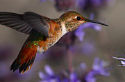 Hummingbird Prints Framed Prints - Allens Hummingbird Framed Print by Paul Marto