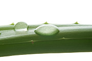 Aloe Vera Print by Blink Images