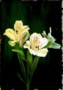 Lily Flowers - Alstroemeria by Cathie Tyler