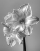 Interior Still Life Photo Metal Prints - Amaryllis 2 Metal Print by Robert Ullmann