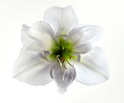 Anther Framed Prints - Amaryllis Framed Print by Jane Rix