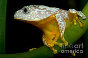 Fringes Framed Prints - Amazon Leaf Frog Framed Print by Dante Fenolio