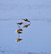 Antelope Island Framed Prints - American Avocets Framed Print by Louise Heusinkveld