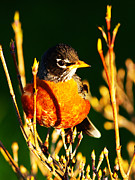 Migratory Framed Prints - American Robin Framed Print by Paul Ge