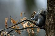 An Eastern Gray Squirrel Sciurus Print by Chris Johns